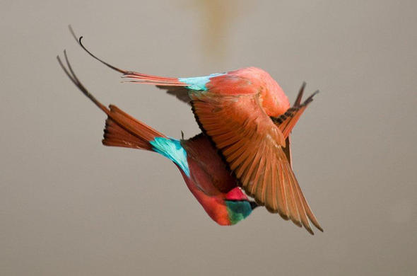 Carmine Bee-eaters fighting in mid-flight