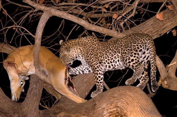 Leopard with its kill in a tree near Tafika Camp
