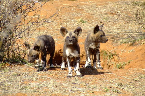 Wild Dogs of Madikwe Game Reserve.