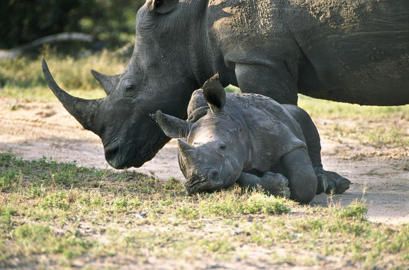Mother and baby Rhino in Thornybush Game Reserve.