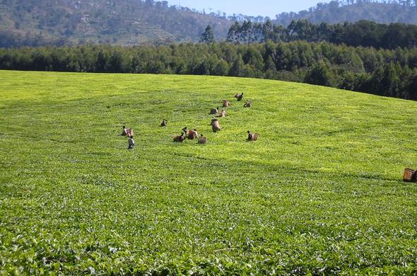 Thyolo Tea Plantation