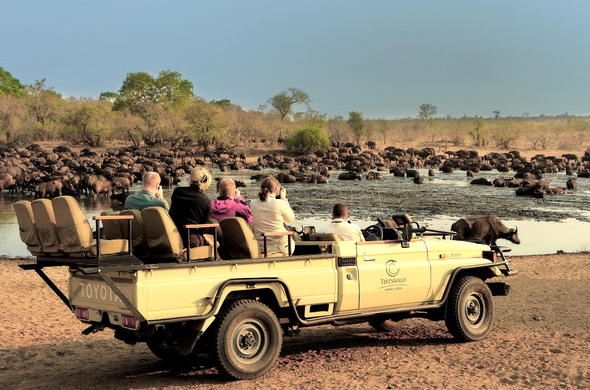 Herd of buffaloes spotted on a game drive.