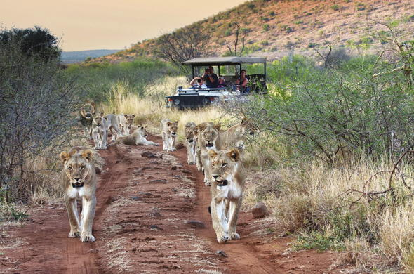 Pride of lions spotted during game drive.