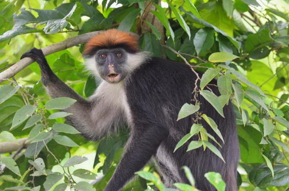 Red Colobus Monkey in Udzungwa Mountains National Park.