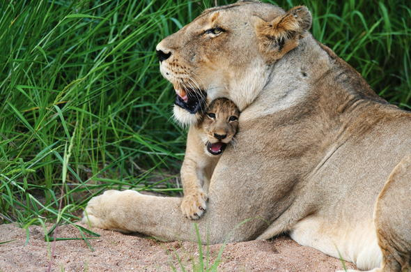 See Lions and cubs on safari.