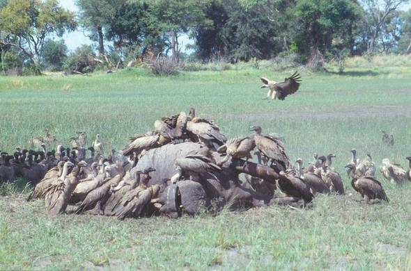 Vultures getting started on a dead hippo. Leigh Kemp