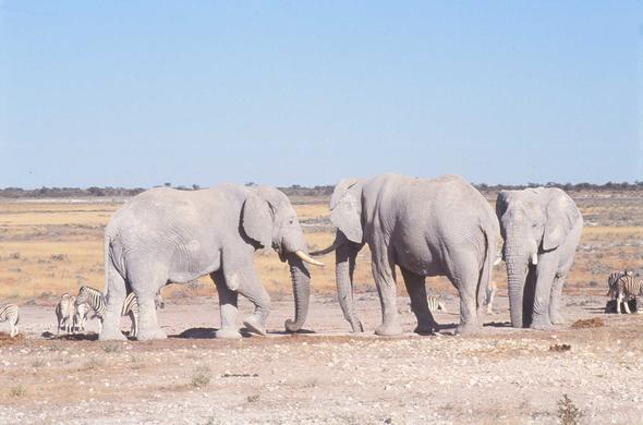 White elephants of Etosha