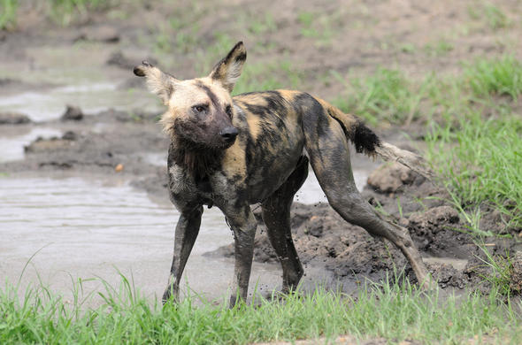 Wild dog in the Selous