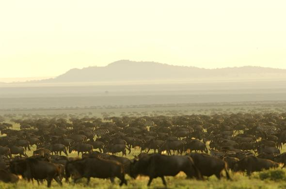 Migrating wildebeest and zebra