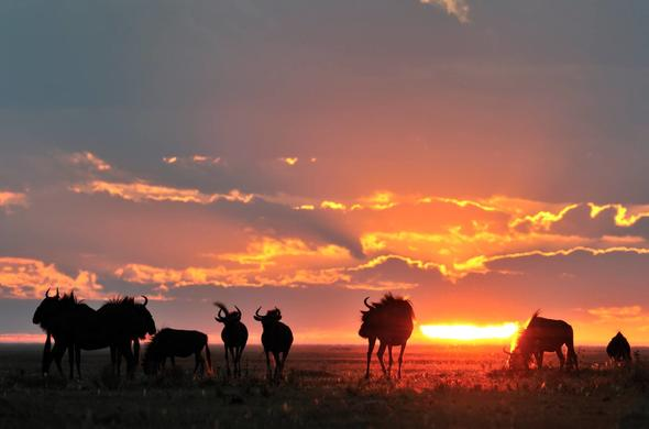 Wildebeeste in the Sunset. Norman Carr Safaris