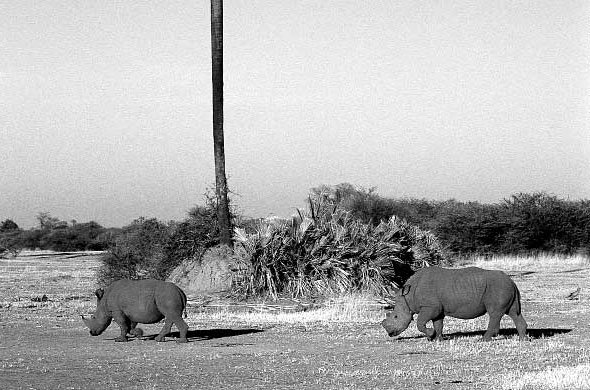 Rhino can now be seen in the Okavango. Ian Michler