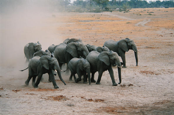 Thirsty elephants rush for the river. Ian Michler