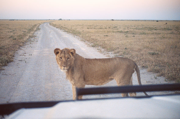 Lion in the road. Lee Kemp