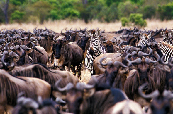 Zebra and wildebeest sighting during great migration.