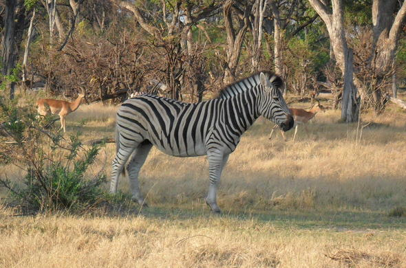 Zebra and antelope spotted in Nxai Pan National Park.