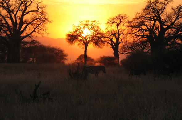 zebras at sunset Tarangire